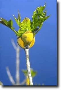 Orniello (Fraxinus ornus).