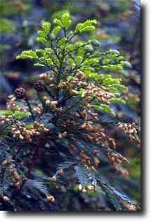 Sequoia sempreverde (Sequoia sempervirens).