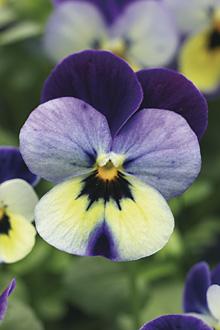 Arte floreale milano fiori scuola fioristi bouquet addobbi for Viola cornuta inverno